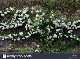 flowers climbing rose on white stock photos u0026 flowers climbing