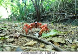 christmas island stock images royalty free images u0026 vectors