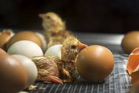 how to raise chickens for eggs in your backyard paris farmers union
