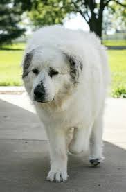 great pyrenees rescue provides wonderful dogs to good homes great pyrenees rescue of central illinois pet service