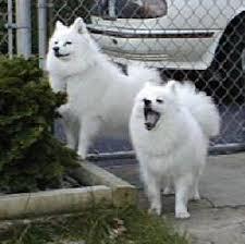 american eskimo dog apartment untitled document