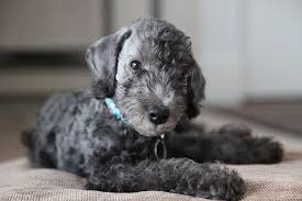 bedlington terrier genetic disease bedlington terrier facts pictures price and training dog breeds