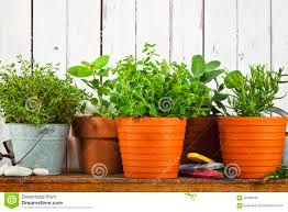 potted herbs on shelf rustic wood background stock photo image