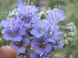 native plants to texas blue curls