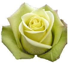 Bulk Flowers Online Bulk Green Roses Buy Wholesale Green Roses For Sale Wholesale