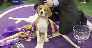 affenpinscher westminster 2015 beagle wins 139th westminster dogtime