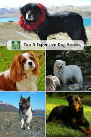 top 5 most expensive dog breeds dog boo