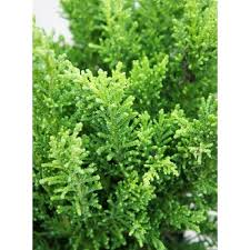 chamaecyparis draht ornamental conifer plant 2 5l pot