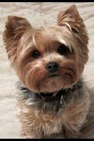 yorkie hair cut chart this digital photography of cute shih tzu puppy haircuts has