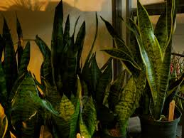 mother in law house sansevieria u201cmother in law u0027s tongue u201d the palm room