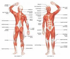 muscle system anatomy human anatomy diagram