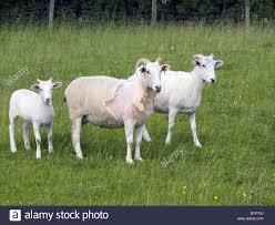 wiltshire horn sheep u0026 lamb stock photo royalty free image