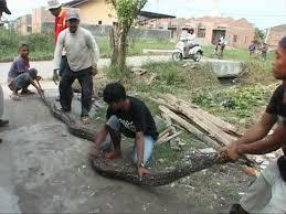 film ular phyton temukan ular sanca 6 meter warga bingung mau diapakan