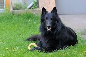 belgian sheepdog and cats belgian sheepdogs temperament u0026 personality