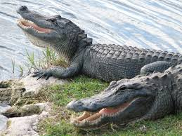 alligators v crocodiles what u0027s the difference random factoid