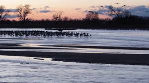 sandhill cranes flying in to roost march 31 2016 at the platte