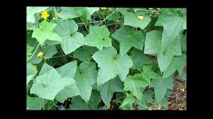 Cucumber Spacing On Trellis Huge Cucumber Plant Poinsett 76 Grown On A Trellis System Youtube