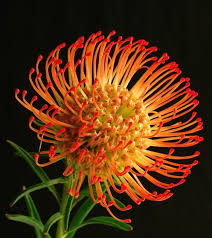 South African Wild Flowers - 721 best south african plants images on pinterest plants pretty