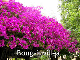 how to grow and care bougainvillea bougainvillea is a genus of