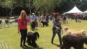 afghan hounds for adoption afghan hound rescue of southern california 2017 rescue parade