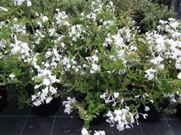 2 x plumbago white 200mm pot flowers all year round easy to grow