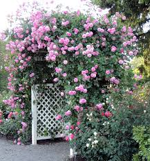rose growing u0026 care u0027how to u0027 articles prune roses that climb