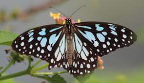 butterflies and bugs of keoladeo where to