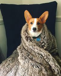 corgi will you bend the knee for house corgi corgi