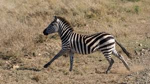does a zebra run faster than a horse reference com