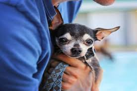long hair chihuahua hair growth what to expect how to make your chihuahua live longer teacupdogdaily