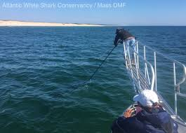 great white shark tagged off nauset beach