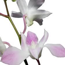 Dendrobium Orchid Dendrobium Orchid Light Pink Wholesale Orchids