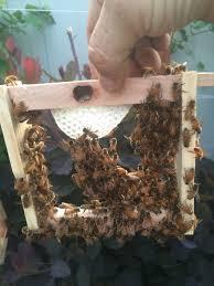 baiting swarms don u0027t use a screened bottom by albert chubak