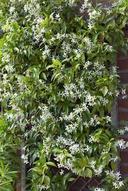 Climbing Plants That Flower All Year - 10 fast growing flowering vines best wall climbing vines to plant