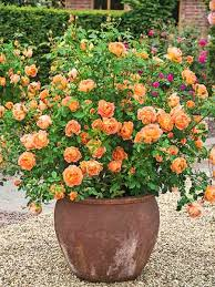 Fragrant Plants For Pots - guilt free container roses david austin roses david austin and