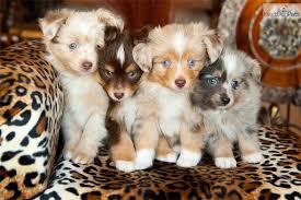 australian shepherd breeders los angeles puppies for sale from lulu u0027s lil aussies member since september 2010