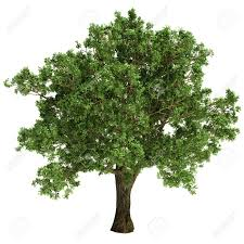 small oak tree isolated on white stock photo picture and royalty