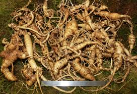 differences between wild and cultivated ginseng