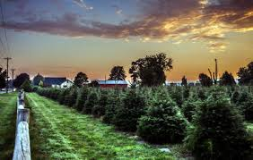 What Trees Are Christmas Trees - why real christmas trees are better for the environment