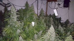 Hps Lights Auto Ultimate The Heavy Yielding Dutch Passion Auto This Review