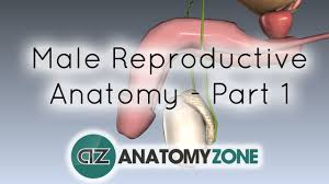 Male External Anatomy Introduction To Male Reproductive Anatomy Part 1 Testis And