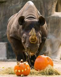 zoo animals get in the halloween spirit by smashing pumpkins