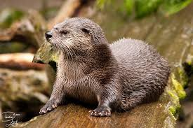 Missouri illinois river otter conflicts and advice