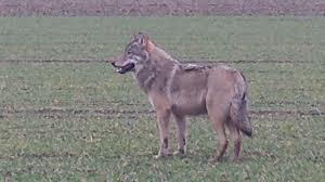 Das Wetter In Bad Oeynhausen Wolf In Nrw Gesichtet Sat 1 Nrw Die Infopage Zur Sendung