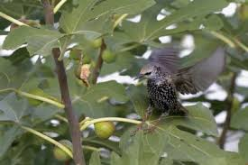 How To Keep Pests Away From Garden - fruit tree bird protection how to keep birds off your fruit trees