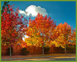 top 5 trees that add instant fall color of gold yellow and
