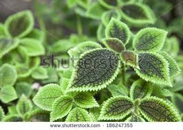 pilea mollis species flowering plant family stock photo 186247355