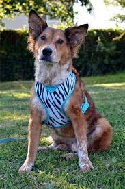 Comfort Flex Dog Harness The Dog Geek Product Review Petco Adjustable Mesh Harness Dog