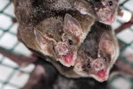 bats may hold clues to why humans form cleft palettes u2022 earth com