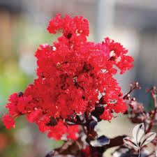 Decorative Trees For The Home by Crape Myrtle Trees Trees U0026 Bushes The Home Depot